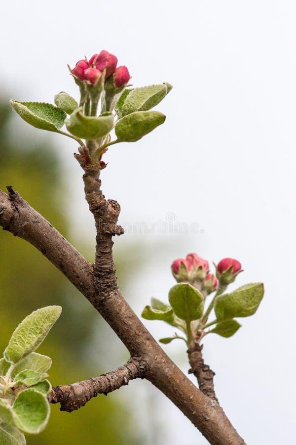Ramo di di melo di fioritura contro il cielo Primo piano rosa delle inflorescenze fotografia stock