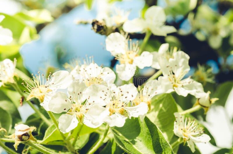 Ramo di melo in fioritura/fiori della primavera Bello frutteto Arte del confine o del fondo di Pasqua della primavera con il fior immagini stock