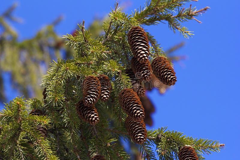 Ramo di pino con i coni freschi fotografie stock libere da diritti