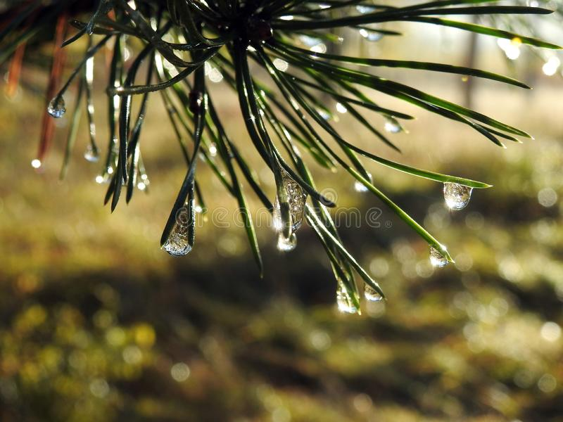 Ramo di pino con la rugiada di mattina, Lituania fotografia stock