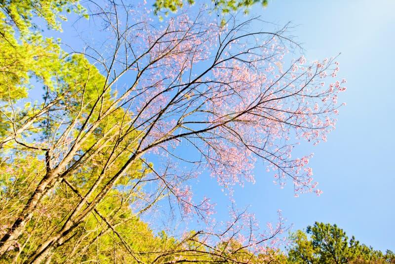 Ramo di sakura tailandese con cielo blu immagini stock