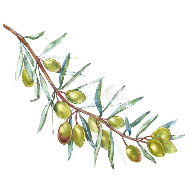 Ramo di ulivo con le olive verdi su un fondo bianco isolato Illustrazioni dell'acquerello Elementi botanici per il vostro royalty illustrazione gratis