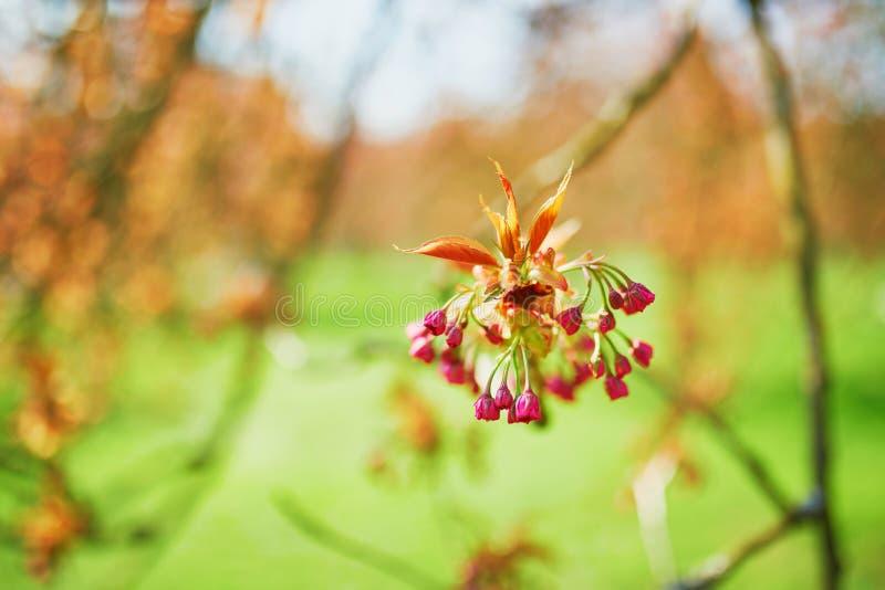 Ramo di un ciliegio con i fiori rosa che iniziano a fiorire fotografie stock libere da diritti
