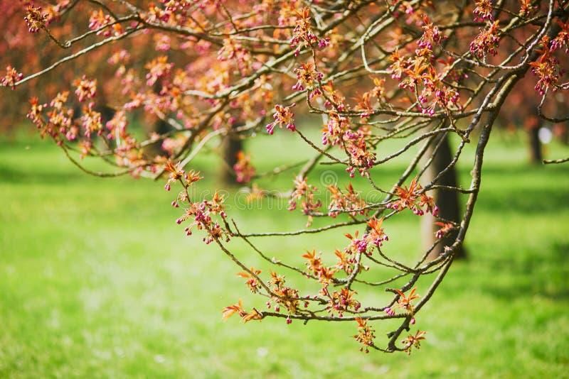 Ramo di un ciliegio con i fiori rosa che iniziano a fiorire immagini stock libere da diritti