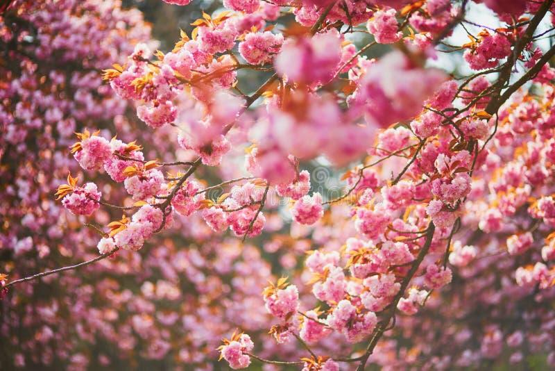 Ramo di un ciliegio con i fiori rosa in piena fioritura fotografie stock libere da diritti
