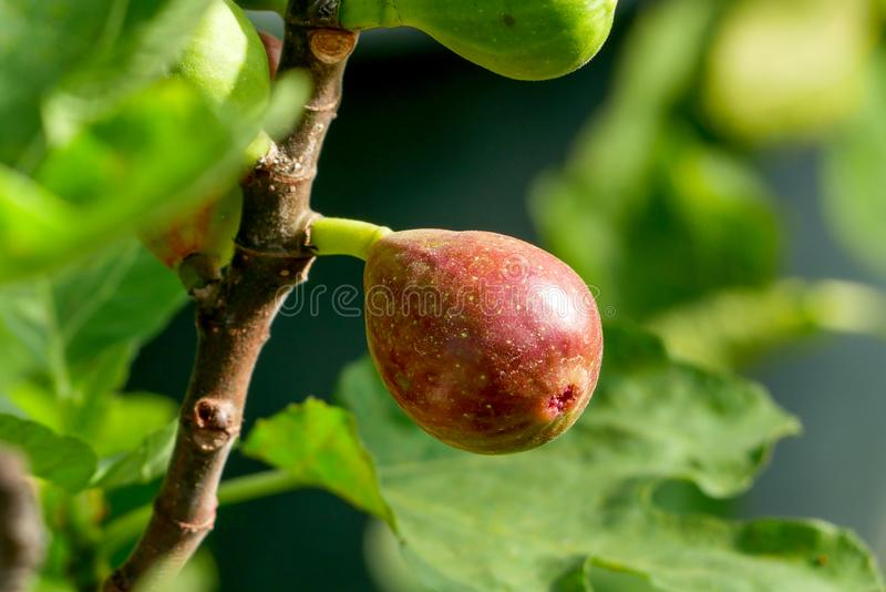 Ramo di un fico Ficus carica con le foglie e dei frutti in varie fasi di maturazione fotografia stock libera da diritti
