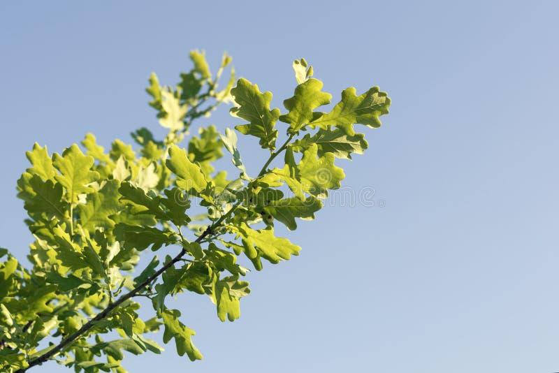 Ramo di una quercia contro un cielo blu in un giorno soleggiato luminoso immagine stock libera da diritti