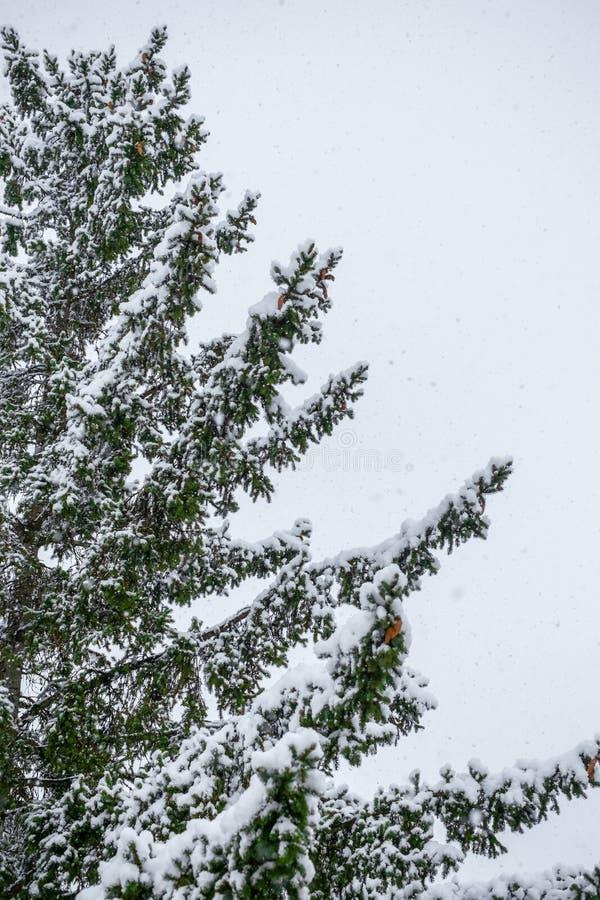 Ramo do abeto com os flocos do cone e da neve do pinho imagem de stock