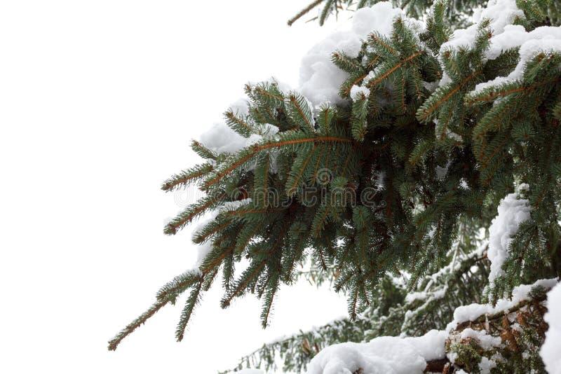 Ramo do abeto do fundo com os flocos do cone e da neve do pinho Feriados do Natal fotografia de stock royalty free