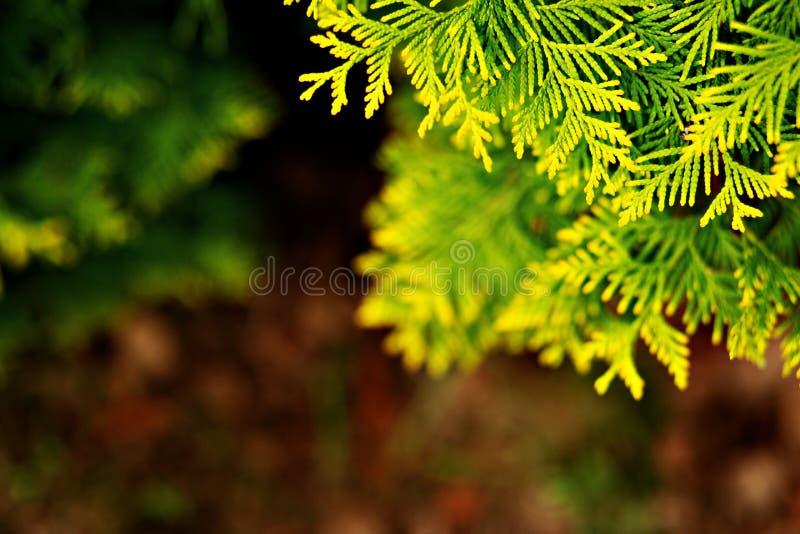 Ramo do abeto no jardim fotografia de stock royalty free