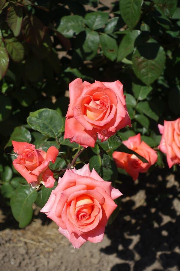 Ramo do arbusto cor-de-rosa com flores cor-de-rosa imagens de stock royalty free