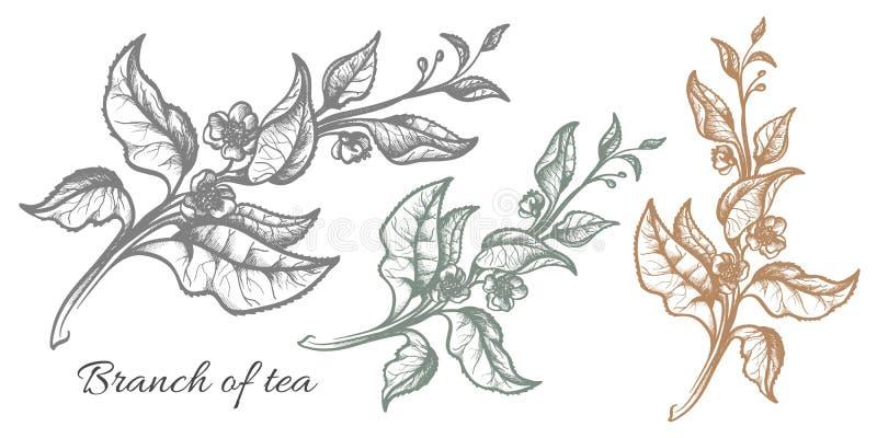 Ramo do arbusto do chá nave Produto orgânico Vetor ilustração do vetor