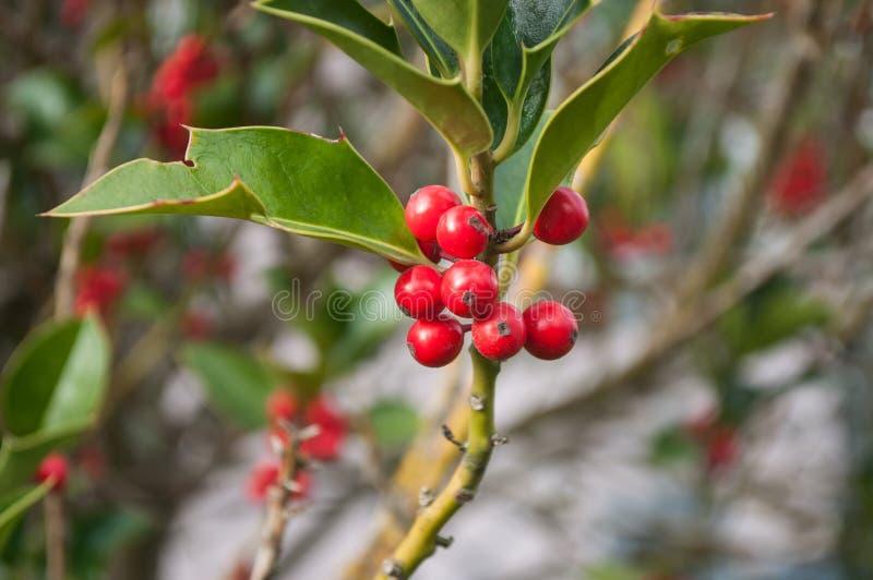 Ramo do azevinho em um jardim para a decoração do Natal fotografia de stock royalty free