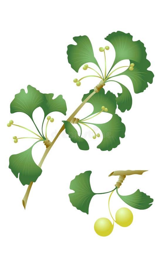 Ramo do biloba de Ginko com folhas e frutos ilustração stock