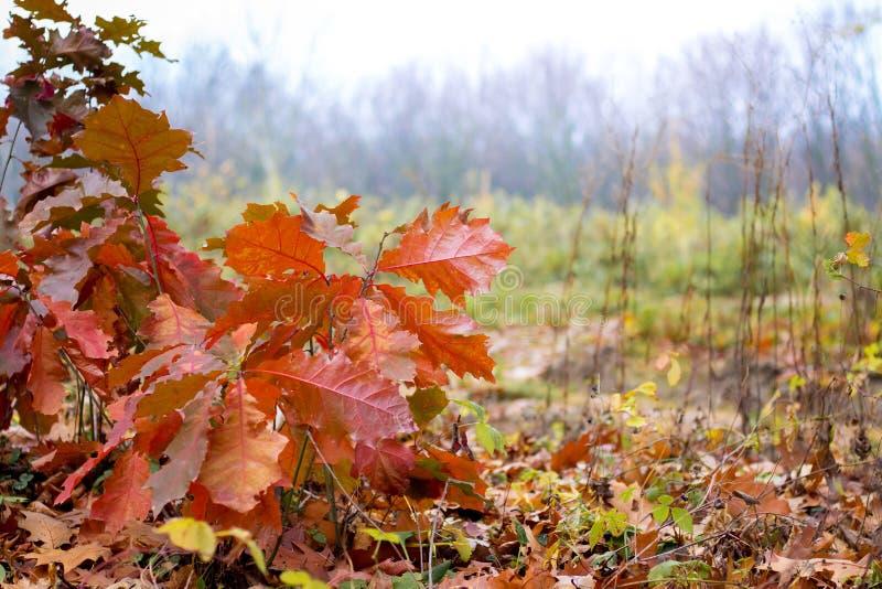 Ramo do carvalho com as folhas marrons secas no fundo do forest_ do outono fotos de stock royalty free