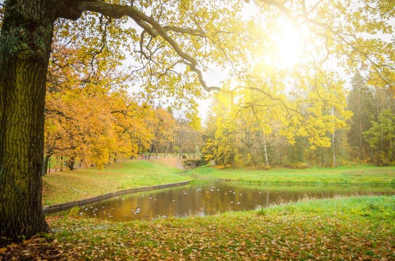 Ramo do carvalho de um carvalho sobre um lago em um parque do outono imagem de stock