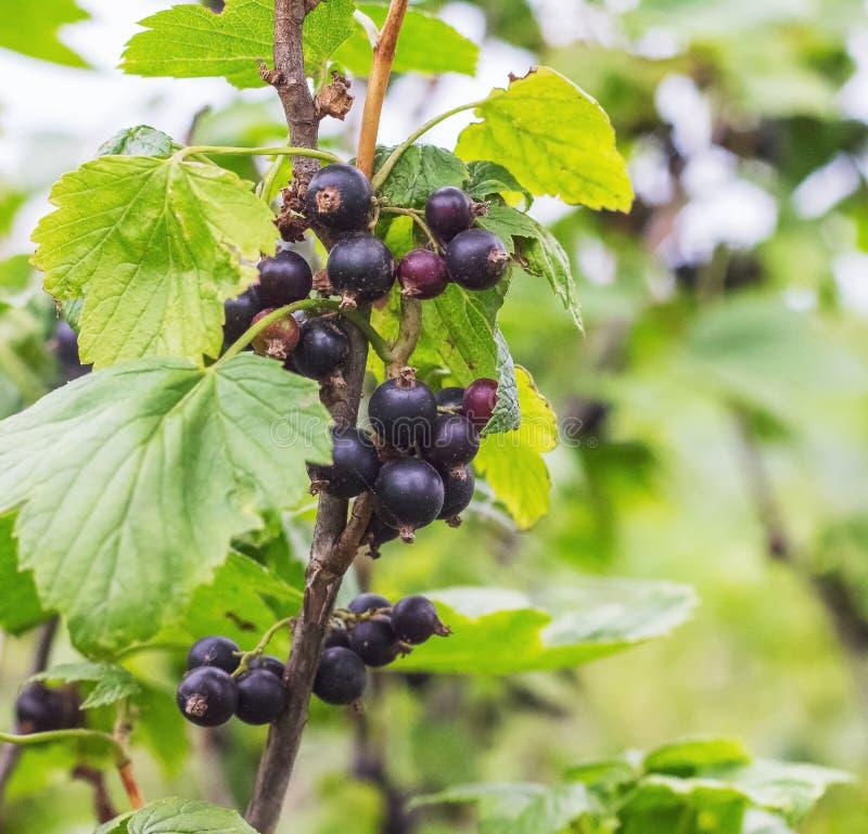 Ramo do corinto preto com bagas maduras e leaves_ verde imagem de stock