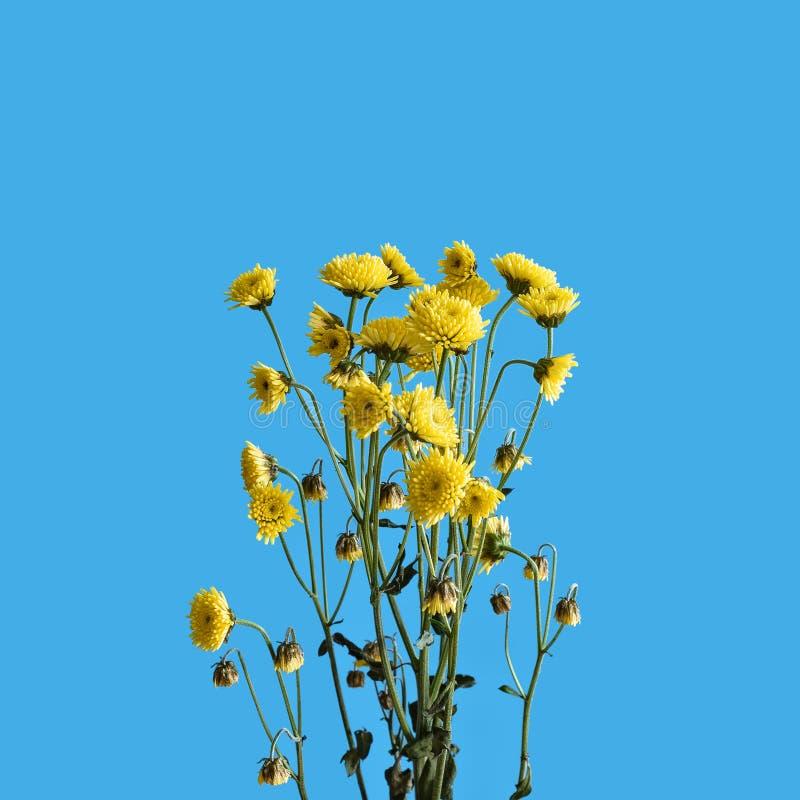 Ramo do crisântemo com as flores amarelas pequenas em um fundo azul imagens de stock royalty free