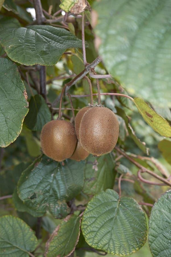 Ramo do deliciosa do Actinidia com fruto de quivi foto de stock royalty free