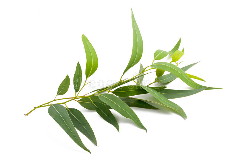 Ramo do eucalipto foto de stock royalty free