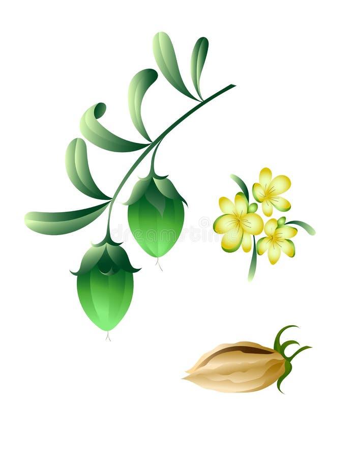 Ramo do Jojoba com flores e frutos ilustração stock