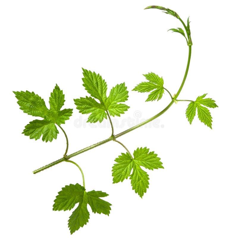 Ramo do l?pulo com grupo de folhas frescas verdes isoladas no fundo branco imagem de stock royalty free