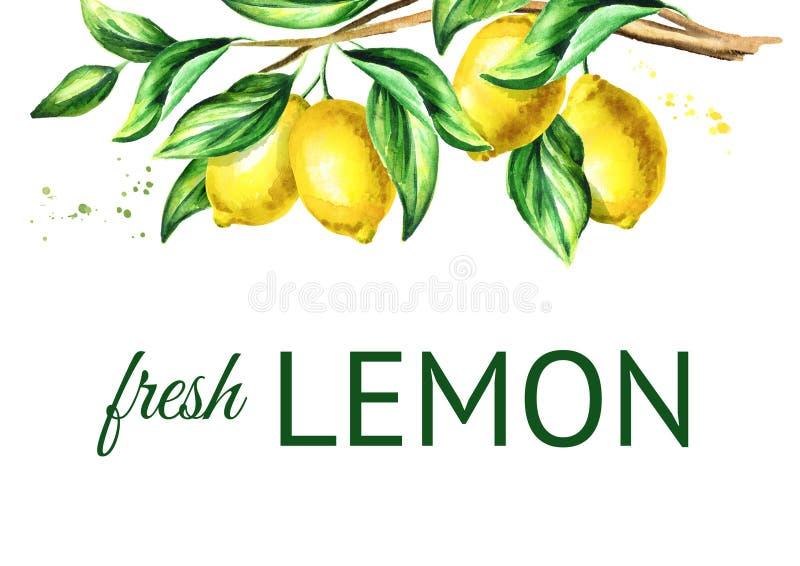 Ramo do limão com fruto e folhas Fundo horizontal tirado mão da aquarela ilustração stock