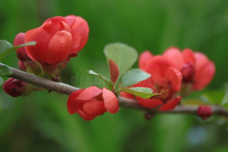 Ramo do marmelo de florescência vermelho fotografia de stock