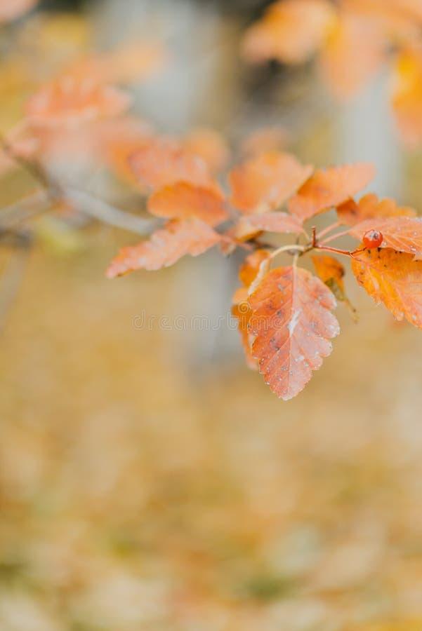 Ramo do outono com folhas brilhantes foto de stock royalty free