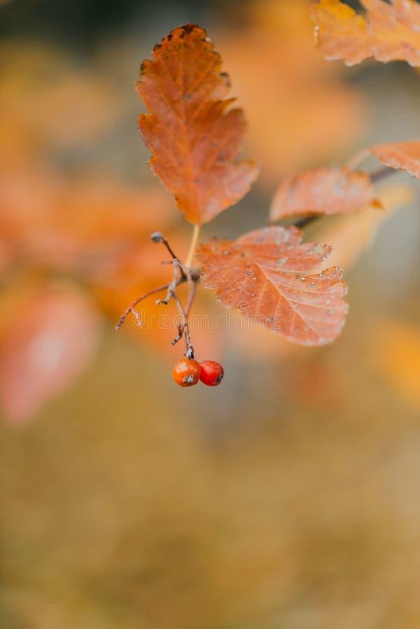 Ramo do outono com folhas brilhantes fotos de stock royalty free