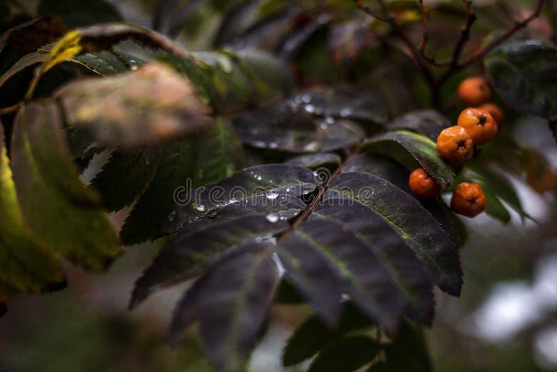Ramo do outono de uma cinza de montanha com uma gota foto de stock