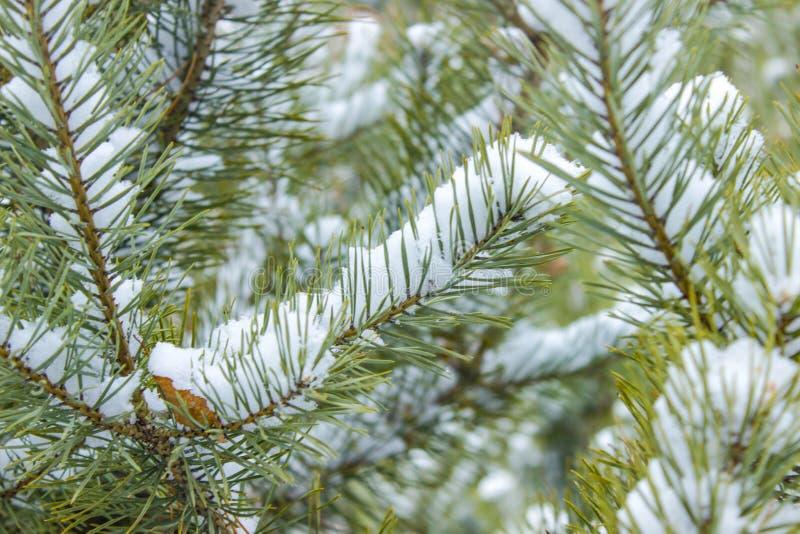 Ramo do pinheiro verde fotografia de stock royalty free