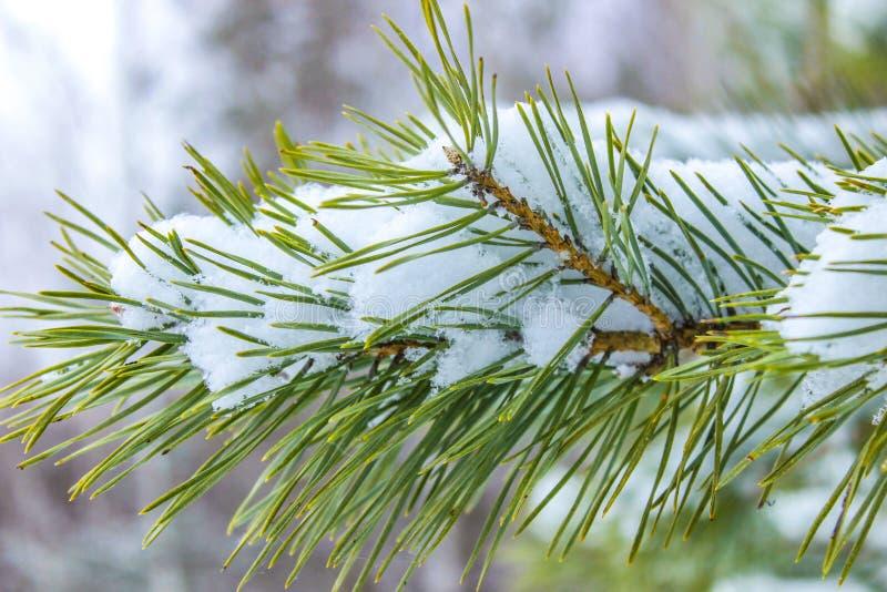 Ramo do pinheiro verde imagens de stock