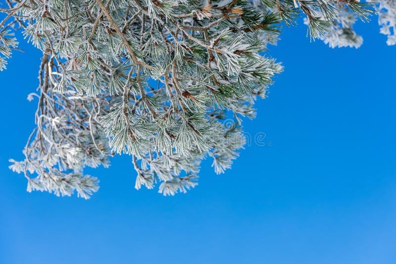 Ramo do pinho coberto com a neve no dia ensolarado fotografia de stock royalty free