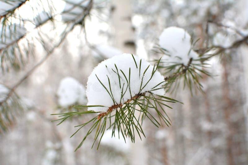 Ramo do pinho com neve Fundo do inverno fotos de stock