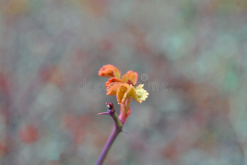 Ramo do quadril de Rosa com pontos e folha nova verde vermelha da mola da rosa selvagem no fundo da grama cinzenta fotografia de stock