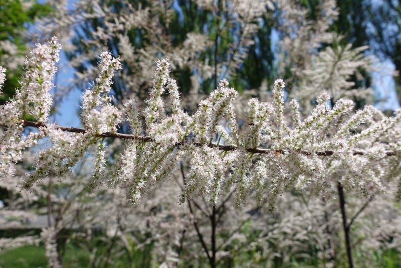 Ramo do ramosissima do Tamarix com lotes de pálido - flores cor-de-rosa fotos de stock royalty free
