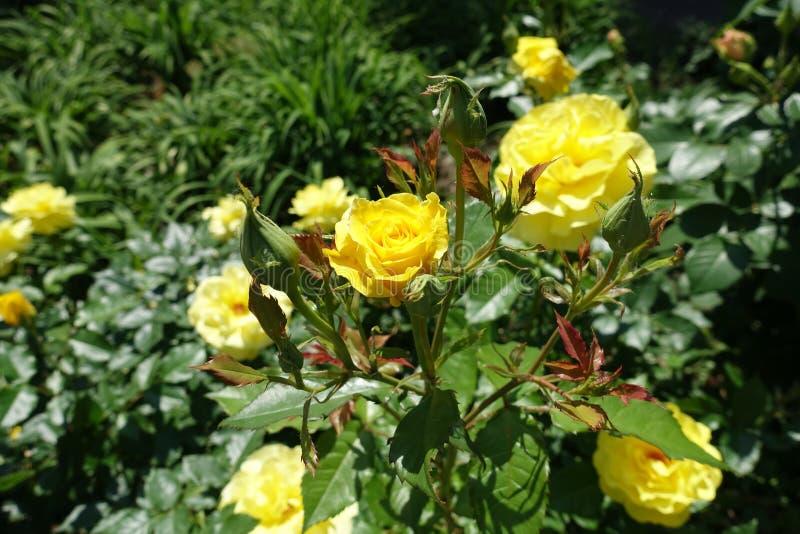 Ramo do rosebush com botões e a flor amarela foto de stock
