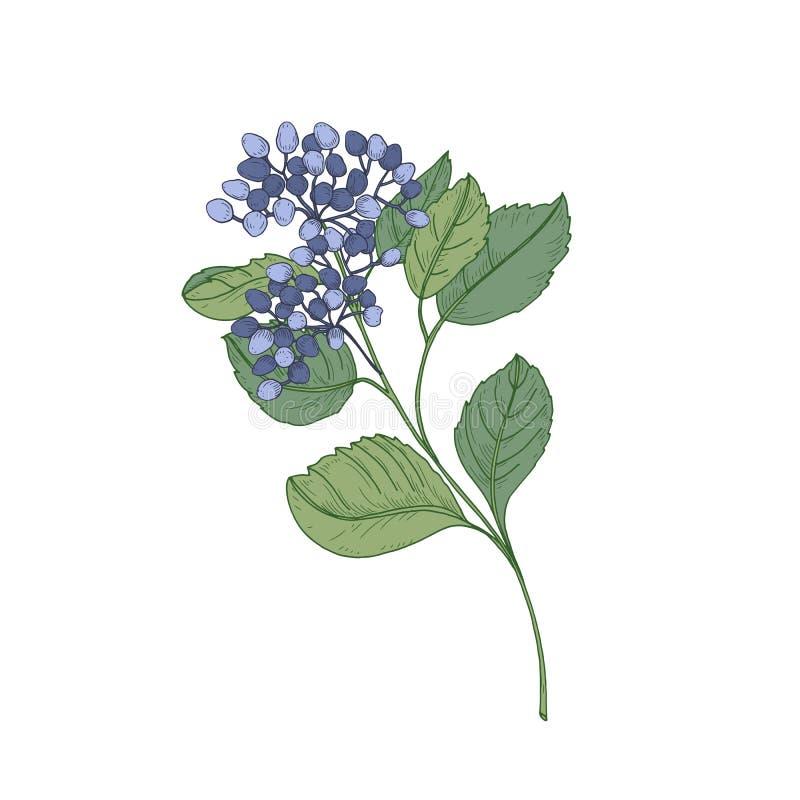 Ramo do Viburnum com bagas azuis e as folhas do verde isoladas no fundo branco Desenho natural da parte de bonito ilustração royalty free