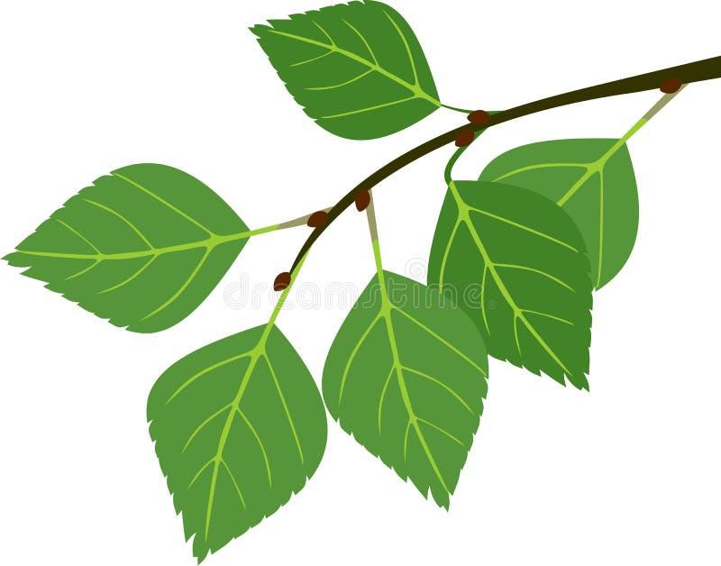 Ramo do vidoeiro com folhas verdes ilustração royalty free