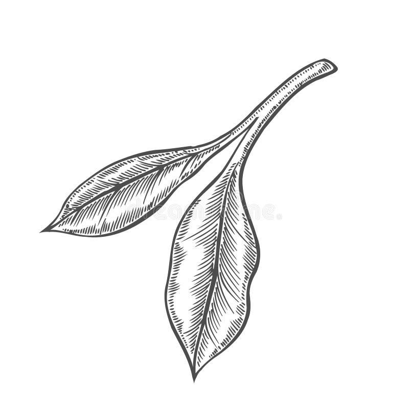 Ramo do vidoeiro e ramo do larício ilustração stock