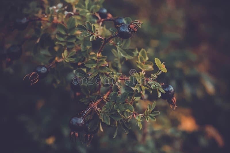 Ramo dos mirtilos do outono de uma árvore da baga fotografia de stock royalty free