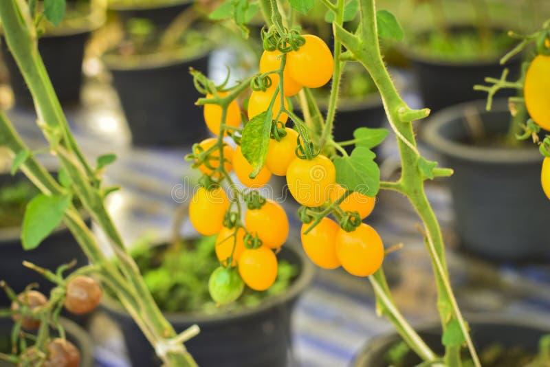 Ramo dos tomates de cereja amarelos frescos que penduram em árvores no órgão imagens de stock