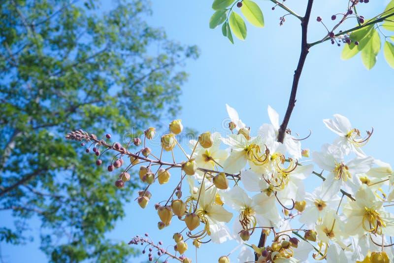 Ramo dourado, branco bonito da flor da pétala na luz solar com céu azul e folha verde foto de stock royalty free