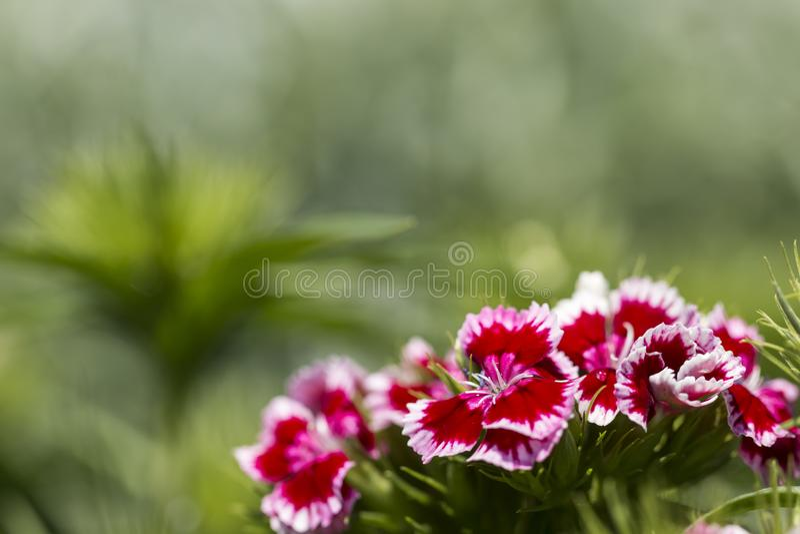 Ramo dulce de la flor de Guillermo Barbatus hermoso del clavel imagen de archivo libre de regalías