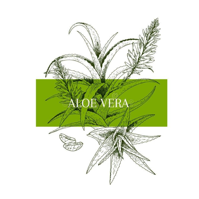 Ramo e fiore disegnati a mano di vera dell'aloe Insegna incisa di vettore healing Ingrediente di alimento, aromaterapia, cucinant royalty illustrazione gratis