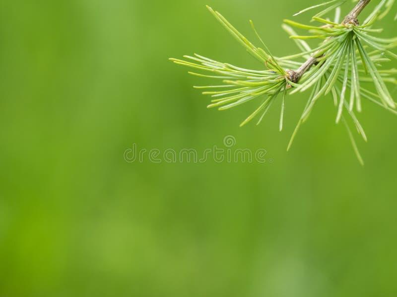 Ramo e foglie del larice fotografia stock