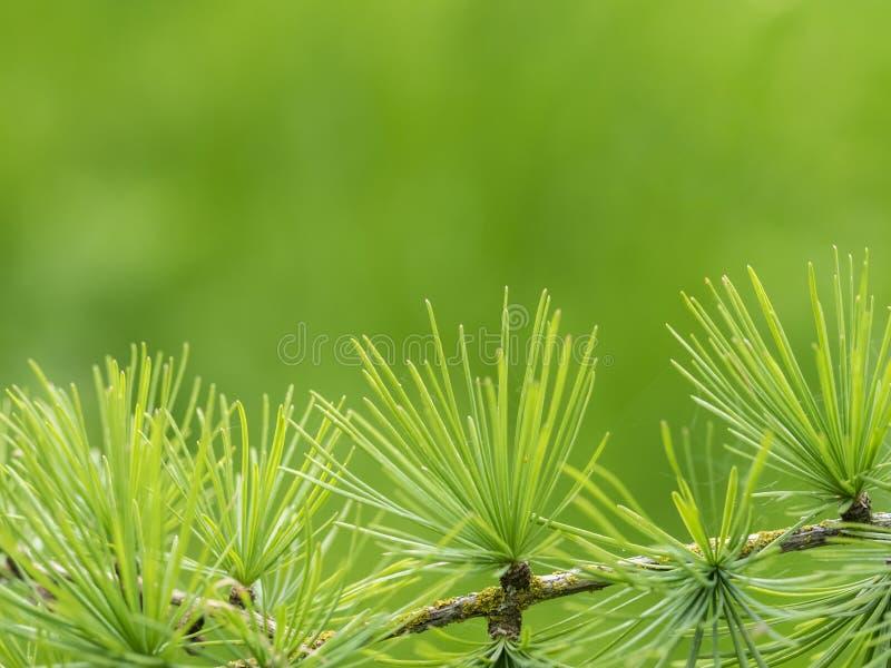 Ramo e foglie del larice immagini stock libere da diritti