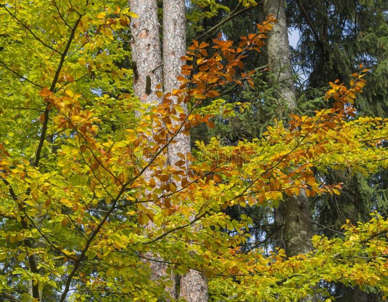 Ramo e foglie di albero variopinto del faggio di autunno in sedere della natura della foresta immagine stock libera da diritti