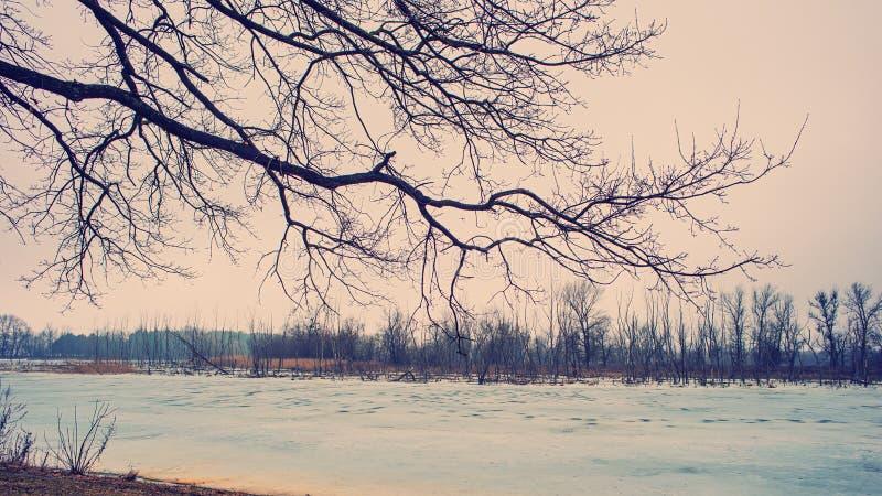 Ramo e ghiaccio di albero sul fiume e sulle vecchie canne Sorgente in anticipo immagini stock libere da diritti